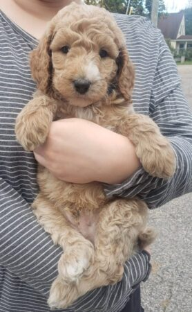 NONSHEDDING GOLDENDOODLE Male (approx. 40 lb.) READY TO LEAVE OCTOBER 30